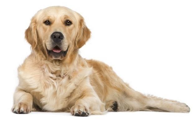 Собака для дітей – яку поробу вибрати 2