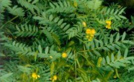 Листя сени – показання до застосування при схудненні